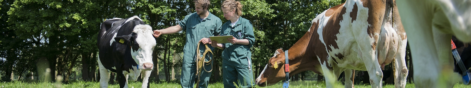 A student and a lector are examining a cow in a meadow, who has a sensor in the reticulum