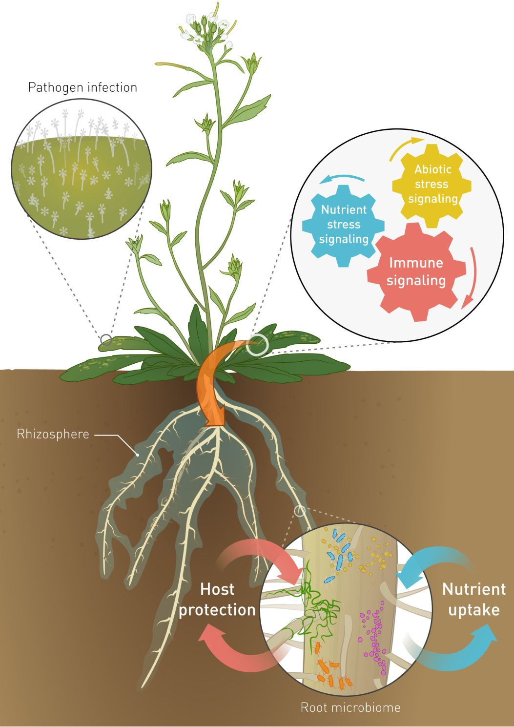 Plants Modify Microbial Communities On Their Roots To Warn