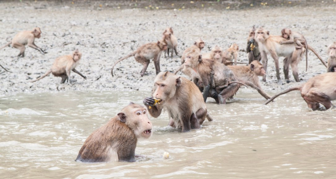 A group of crab-eating macaques.