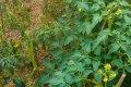 ralstonia healthy and ill plants