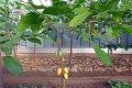 Cacaobonen. Foto: James Steakley via Wikimedia COmmons
