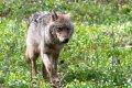 Europese wolf in Polen