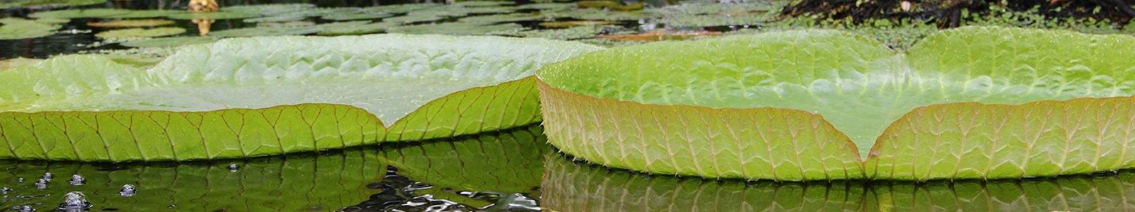 Bladeren van Victoria cruziana in de Tropische Kas