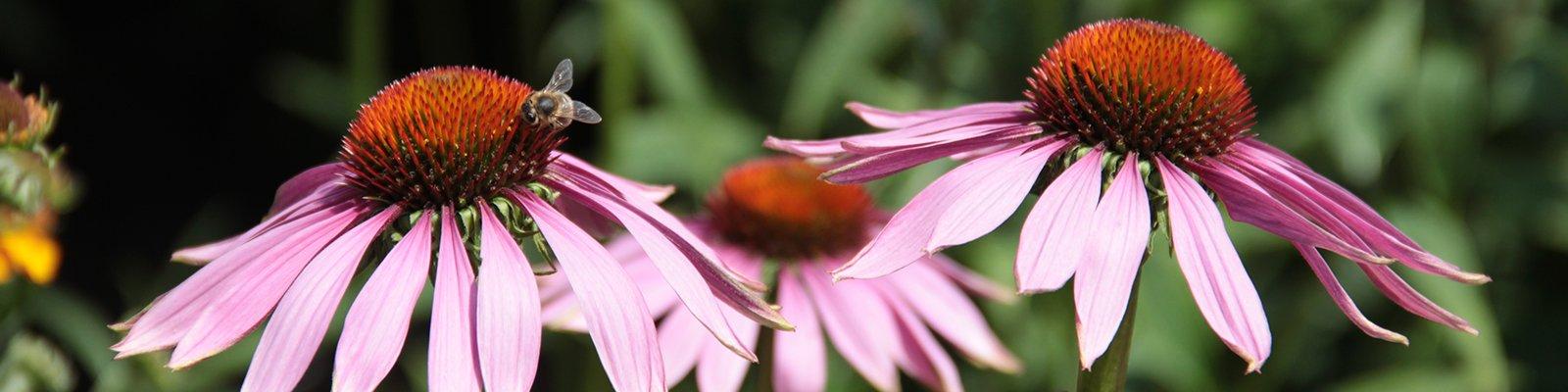 Echinacea purpurea, Rode zonnehoed met bij