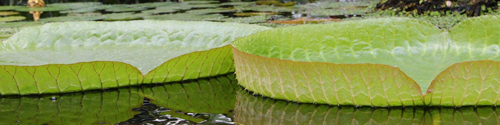 De enorme bladeren van een Victoria waterlelie