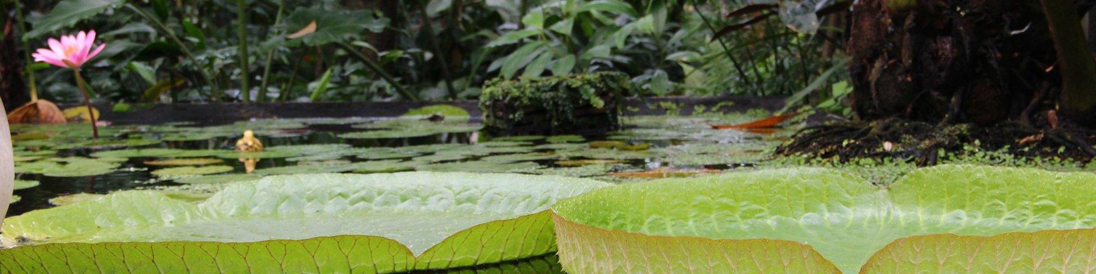 Reuzenwaterlelie in de Tropische kas