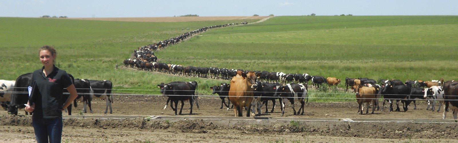 Koeien in Uruguay op weg naar hun stal