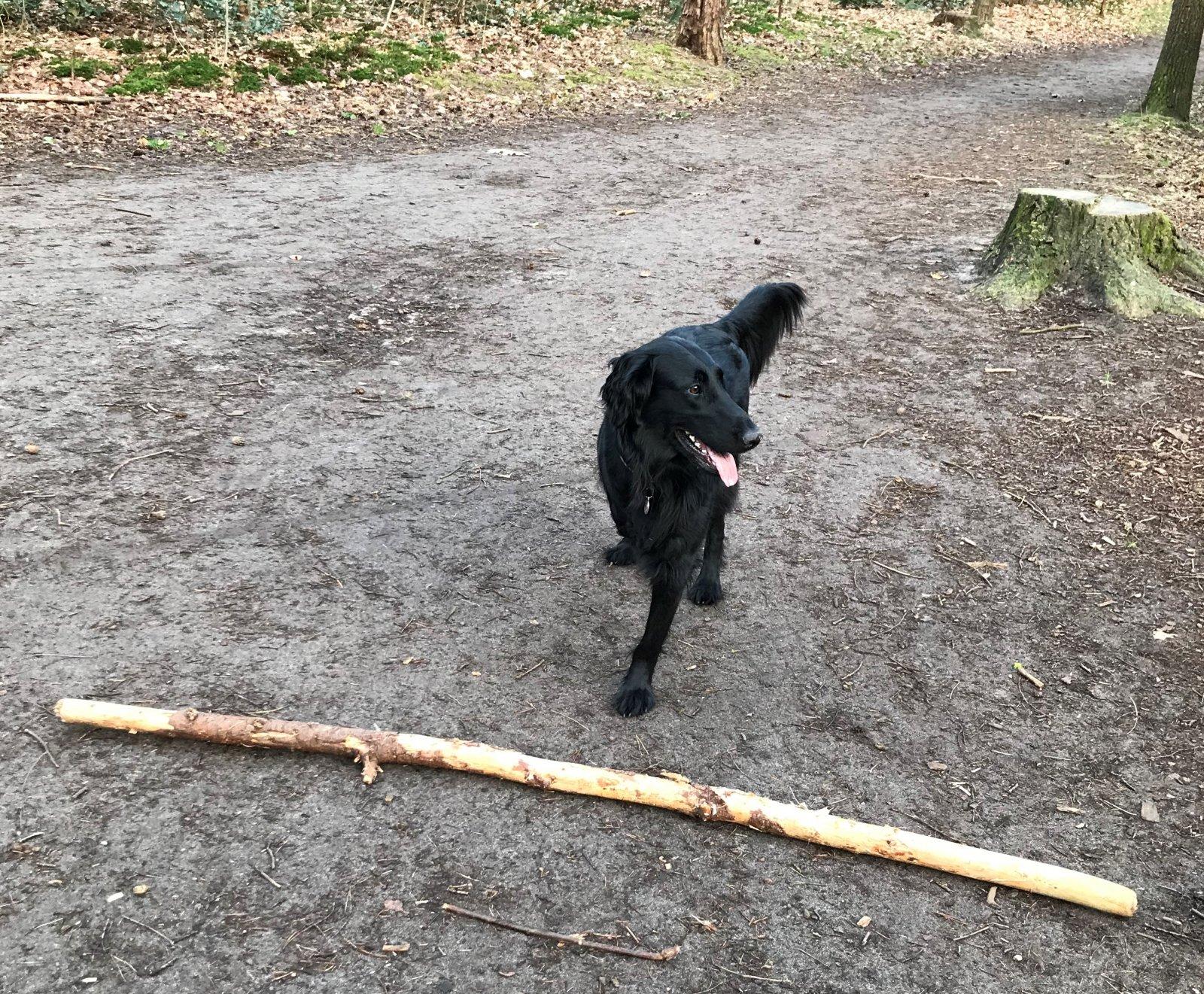 Hond in het bos met grote tak