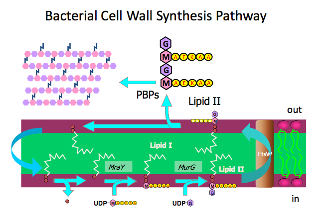 bacterial cell wall synthesis pathway