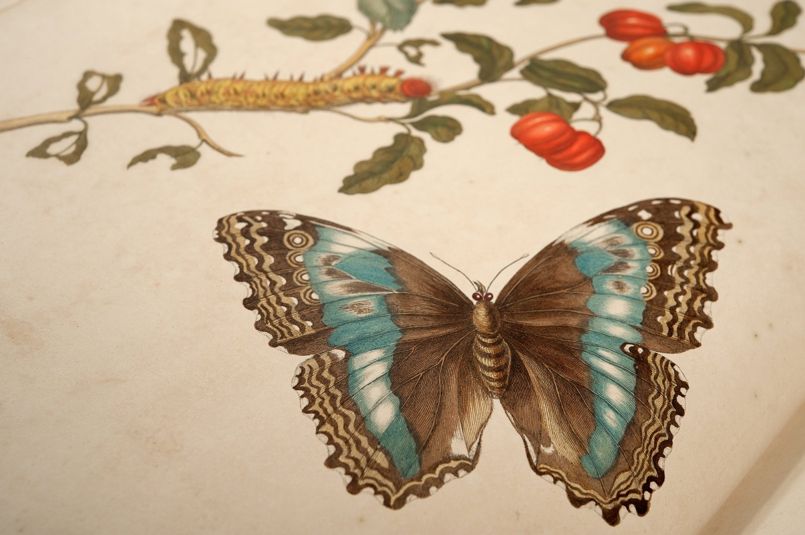 Detail plaat VII, Metamorphosis Merian, 1705