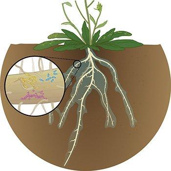 De micro-organismen in de wortels hebben een positief effect op de plant. Illustratie door Jan Karen Campbell.