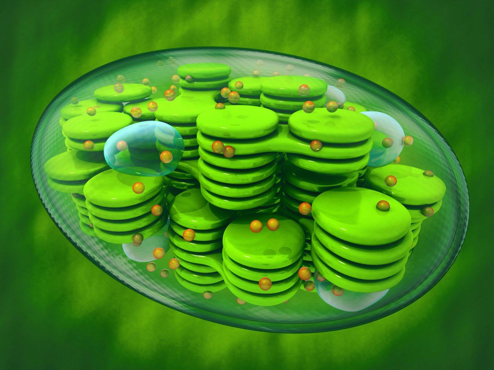 chloroplasten