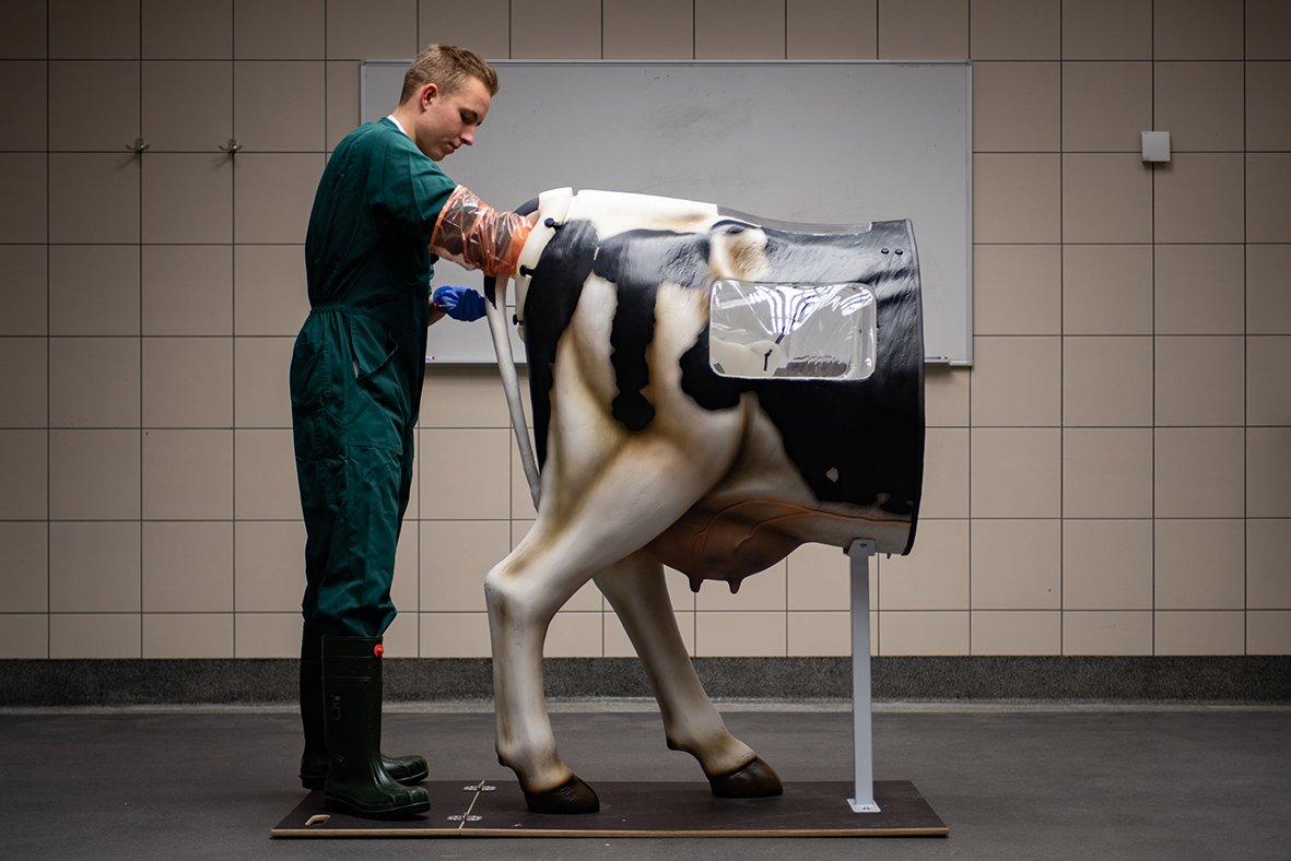 Een student Diergeneeskunde van de Universiteit Utrecht oefent met de kunstkoe Henryetta