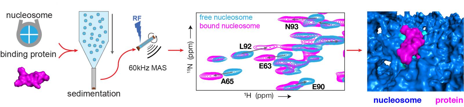 Schematische weergave van het onderzoek naar de binding tussen eiwitten en chromatine