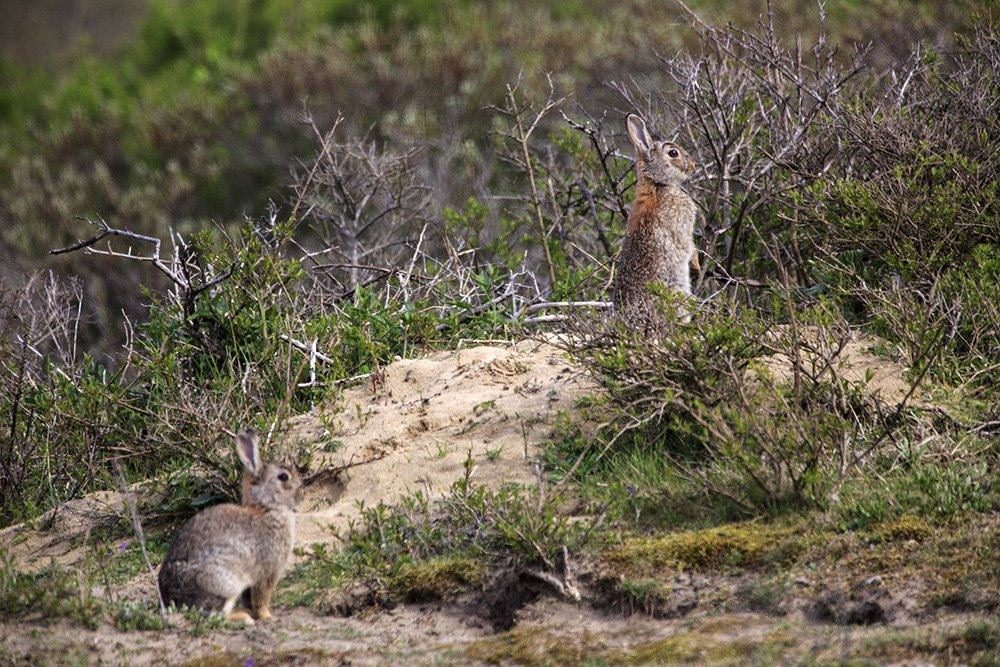 Konijnen in Zuid-Kennemerland. Foto: Ruud Maaskant