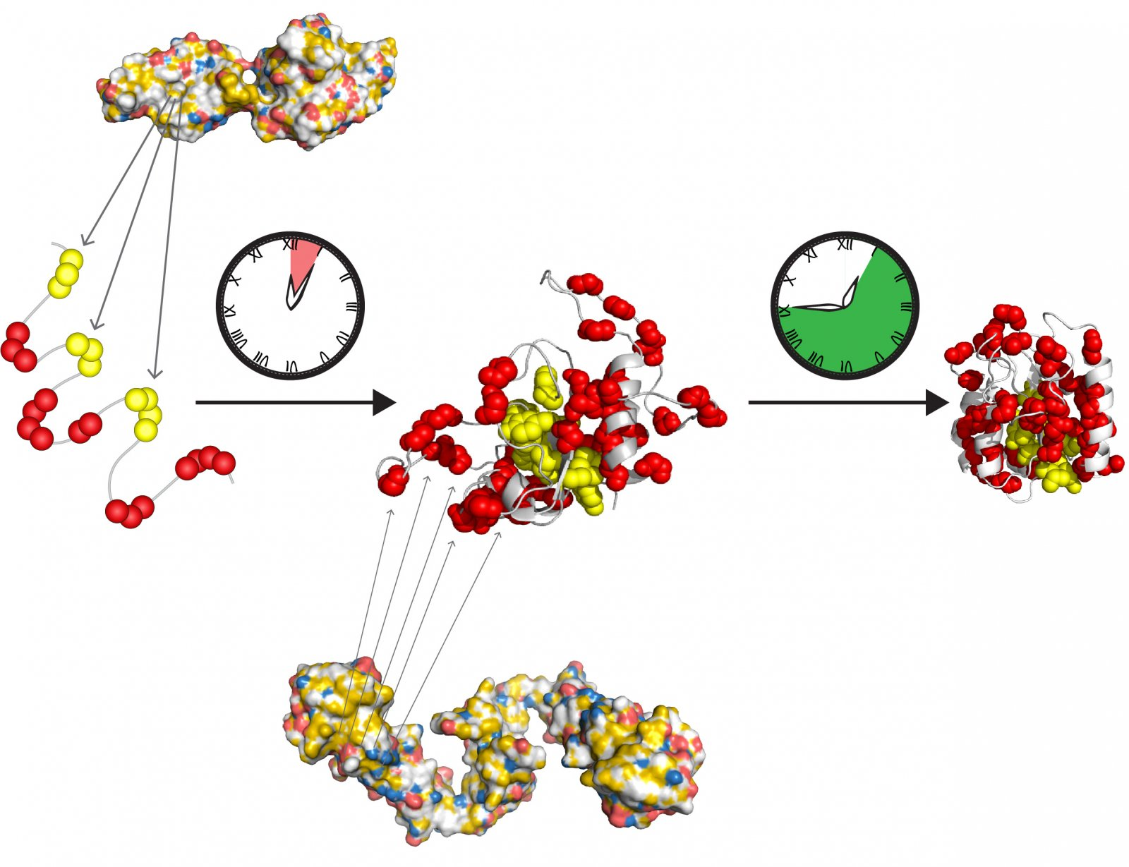 The molecular chaperones Hsp70 and Hsp90 form a fast-acting relay team to prepare proteins to fold into their active state on their own.