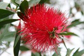 Poederdonsplant (Calliandra tweedii), één van de vele kuipplanten die in de winter in de Kassen staan.