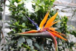 Paradijsvogelbloem (Strelitzia reginae) in de hal van de Kassen