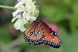 Monarchvlinder (Danaus plexippus) in de Vlinderkas tijdens het Tropisch Vlinderfestival in de zomer