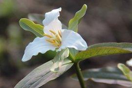 Trillium pusillum, een van de 30 soorten Boslelies die op de Turfterrassen te vinden zijn.