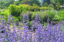 In de zomer bloeit deze blauwe Salie weelderig