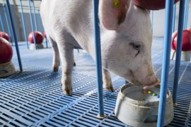 Onderzoek van de faculteit Diergeneeskunde naar dierenwelzijn