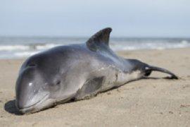 Aangespoelde bruinvis ligt op strand