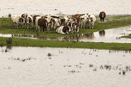 Koeien op ondergelopen stuk weiland