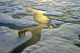 IJsbeer op ijsschots