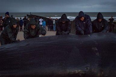 Ontleden van de potvis door team van faculteit Diergeneeskunde, Wageningen Marine Research en Naturalis