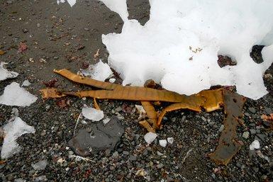 Durvillaea-zeewier aangespoeld op Antarctica