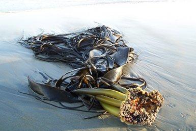 Zeewier aangespoeld op een strand in Nieuw-Zeeland. Foto: Dr Ceridwen Fraser