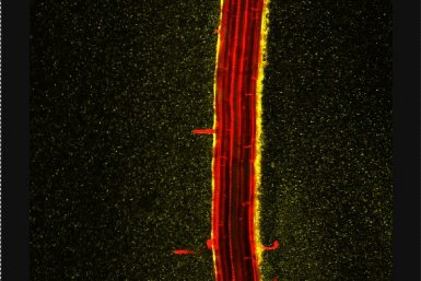 Microscope image of Arabidopsis root