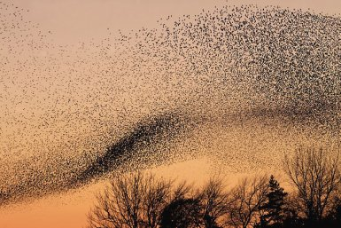 Starling murmuration, by Walter Baxter [CC BY-SA 2.0 (http://creativecommons.org/licenses/by-sa/2.0)], via Wikimedia Commons