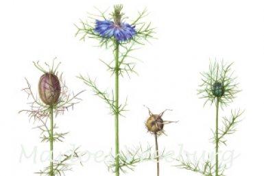 Botu Botanisch Tekenen