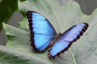 botu vlinder