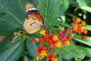 Tropische vlinder op bloemen in kas Botanische Tuinen