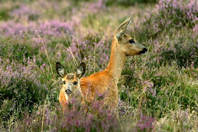 Image of: Indian Health And Welfare Of Wild And Feral Animals Are Important Factors In Population Dynamics Of Wildlife And Environmental Management In The Netherlands Dutch Wildlife Health Centre Faculty Of Veterinary Medicine