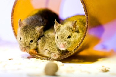 Muizen als proefdieren in een laboratorium van de Universiteit Utrecht