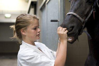 Student diergeneeskunde kijkt in de mond van een paard