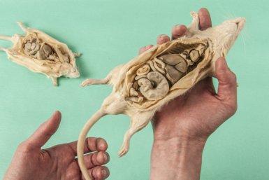 Plastinaten van muizen en ratten als alternatief voor proefdiergebruik