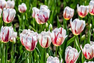 Rood-witte tulpen