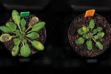Infectie van een arabidopsis waarbij de jasmonzuur enzymen  niet (links) en wel uitgeschakeld zijn