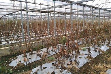 Kas vol met tomaten die verwoest zijn door bruinrot. Tot op heden is er geen remedie beschikbaar. Foto: Zhong Wei)