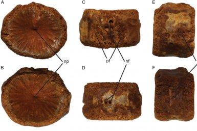 Fossiele staartwervel plesiosaurus