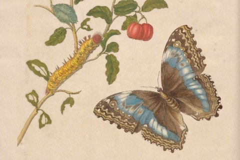 Detail plaat VII, 'Metamorphosis' van Merian, 1705