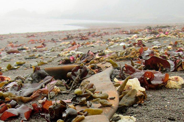 Een van de stukken Durvillaea-zeewier die vorig jaar op een Antarctisch strand werden aangetroffen (King George Island, 2017). Foto: Erasmo Macaya