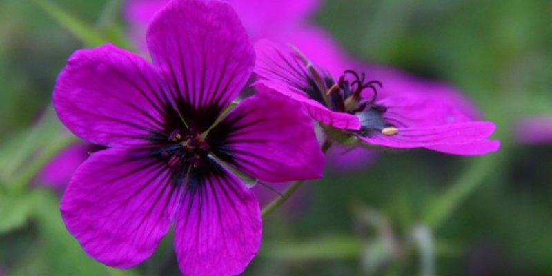 Botu Geranium pilostemon